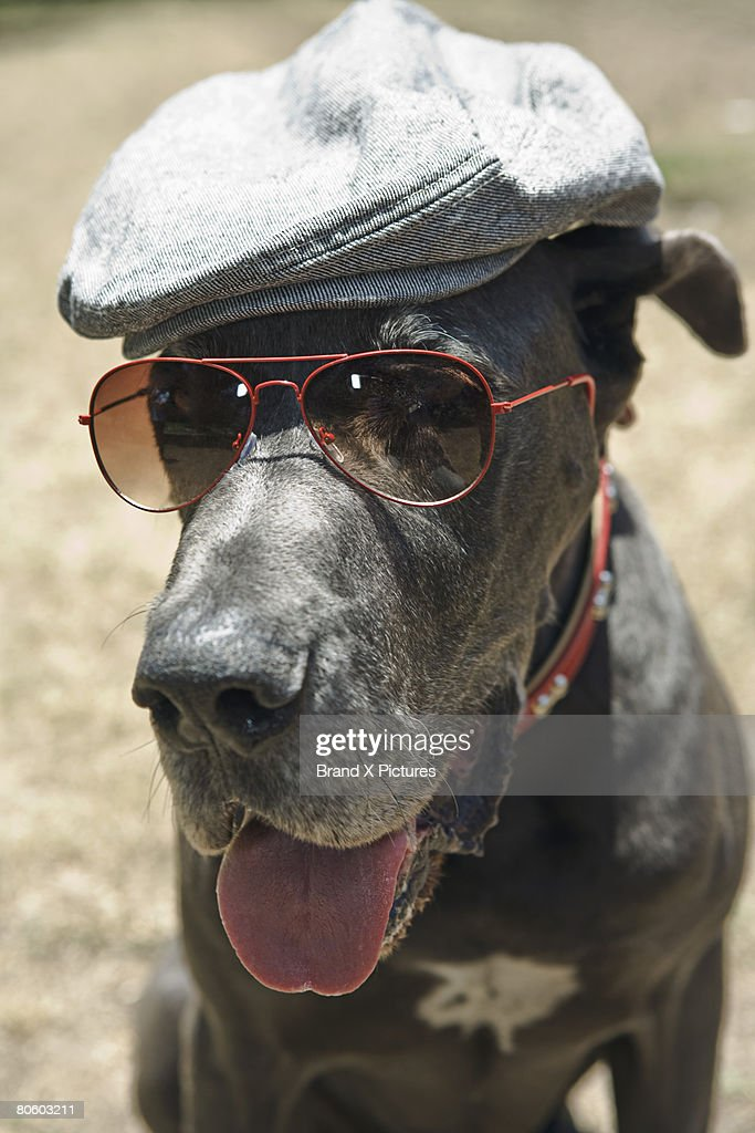 Great Dane wearing hat and sunglasses : Stock Photo