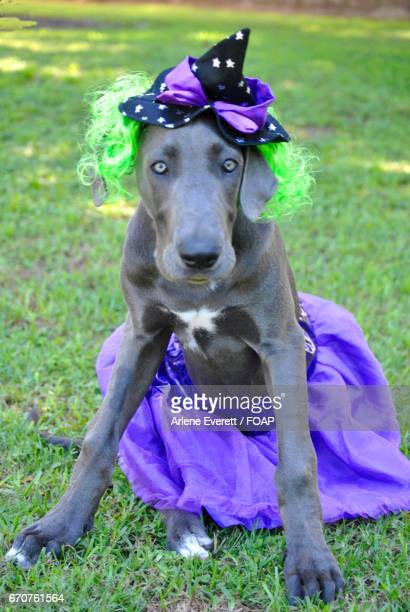 Great dane wearing witch costume