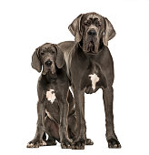 Great Danes sitting and standing, isolated on white