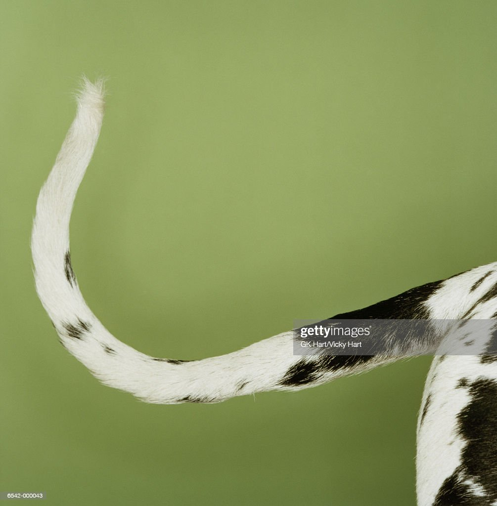 Great Dane's Tail