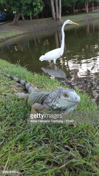 Great egret and iguana near pond
