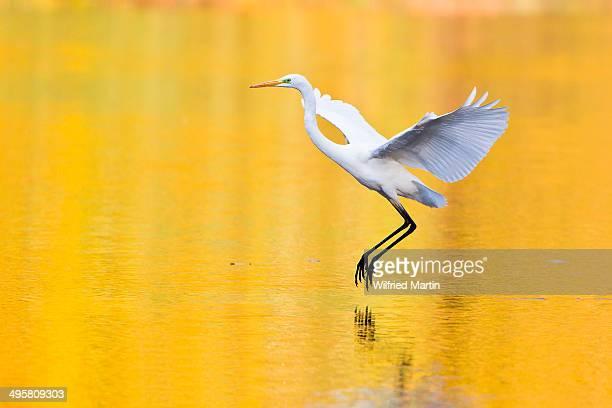 Great Egret -Ardea alba-, Hesse, Germany