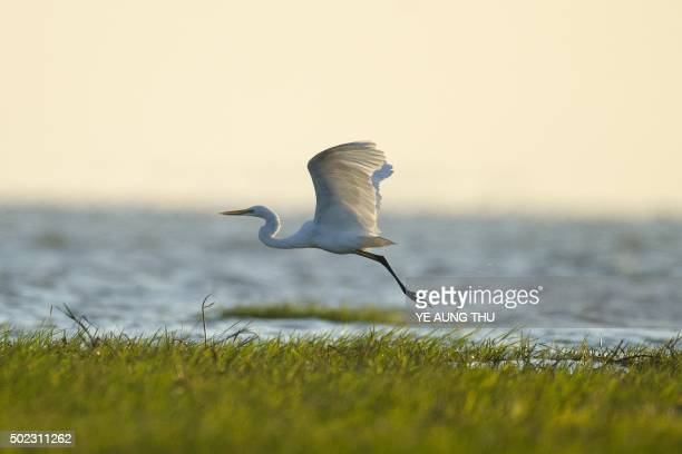 A great egret flies at the Moe Yun Gyi wetlands in Bago Division around 70 miles north of Yangon on December 23 2015 Myanmar has one of the world's...
