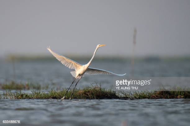A great egret flies in the Moe Yun Gyi wetlands in Bago Division around 70 miles north of Yangon on February 2 2017 Myanmar marked International...