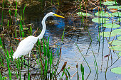 Great egret bird hunting in a wetlands environment