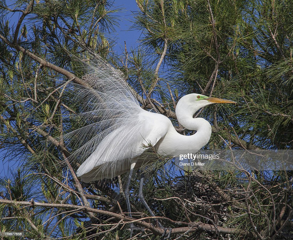 Great egret mating display : Stock Photo