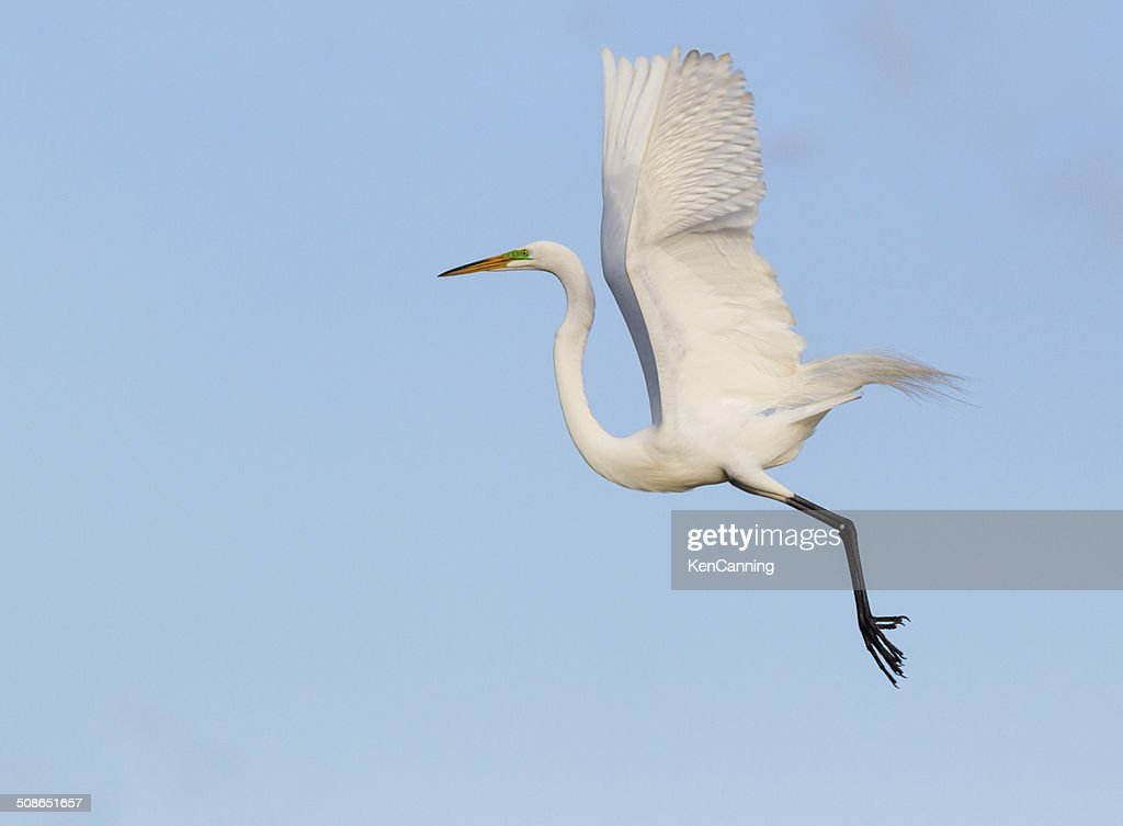 Great Egret : Stock Photo