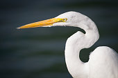 A white Egret stalks prey along the Intracoastal Waterway, at Wrightsville Beach, NC.