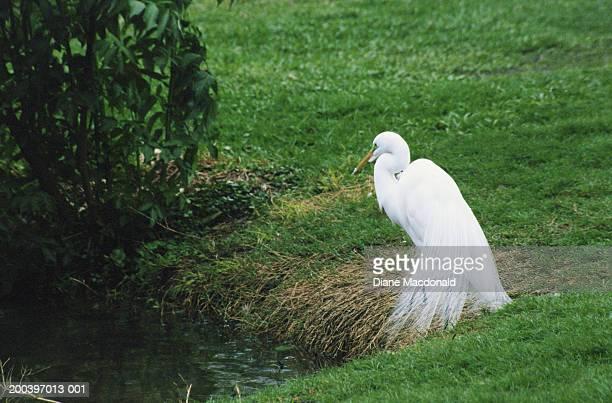 Great Egret (Casmerodius albus), spring
