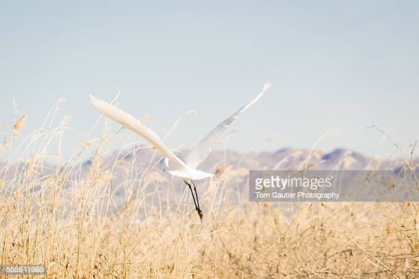 Great egret takes off from a marsh