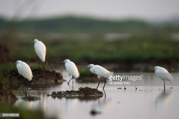 Great egrets are seen in the Moe Yun Gyi wetlands in Bago Division around 70 miles north of Yangon on February 2 2017 Myanmar marked International...