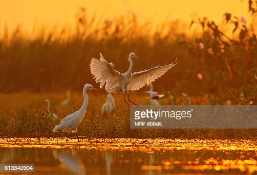 Great Egrets : Stock Photo