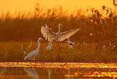 great egret landing at sunrise time in a pond