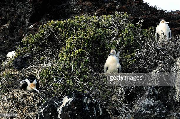 Great Frigatebird chicks at the Pitt Point in San Cristobal island in the Galapagos Archipelago on September 2 2009 AFP PHOTO/Pablo Cozzaglio