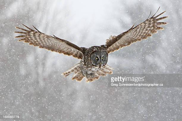 Great Gray Owl flying in snow
