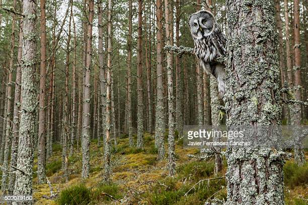 A great gray owl on the branch of a fir tree at the forest edge. Strix nebulosa.