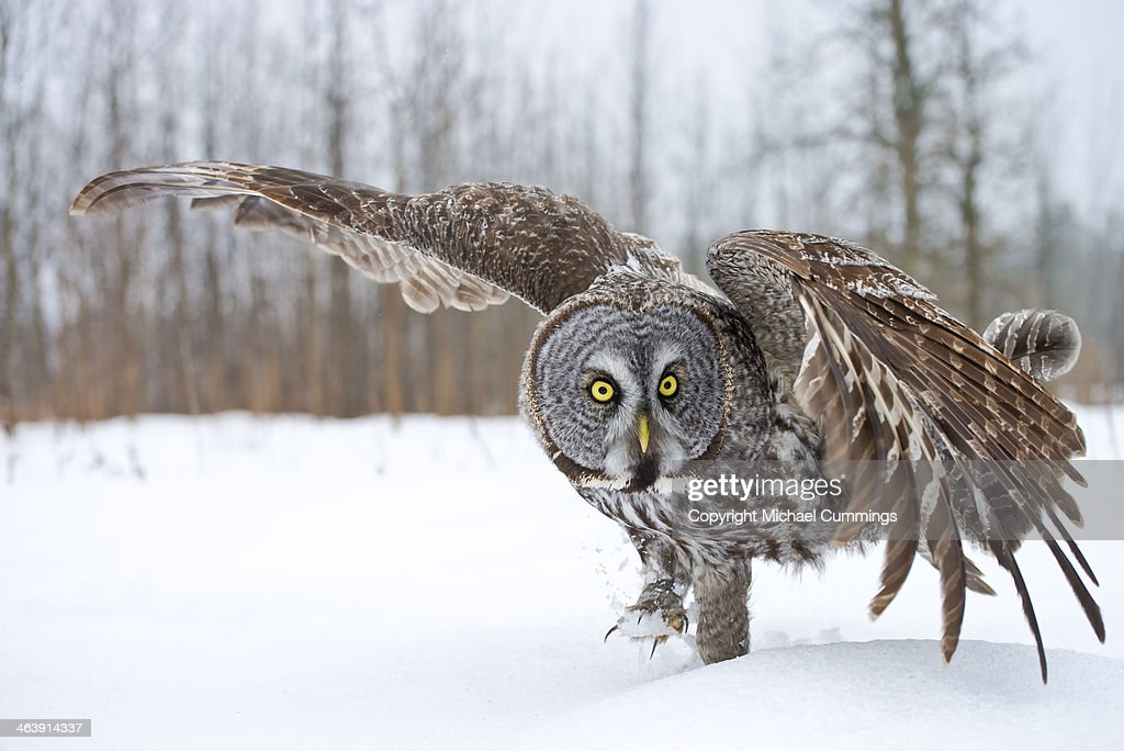 Great Gray Owl : Stock Photo