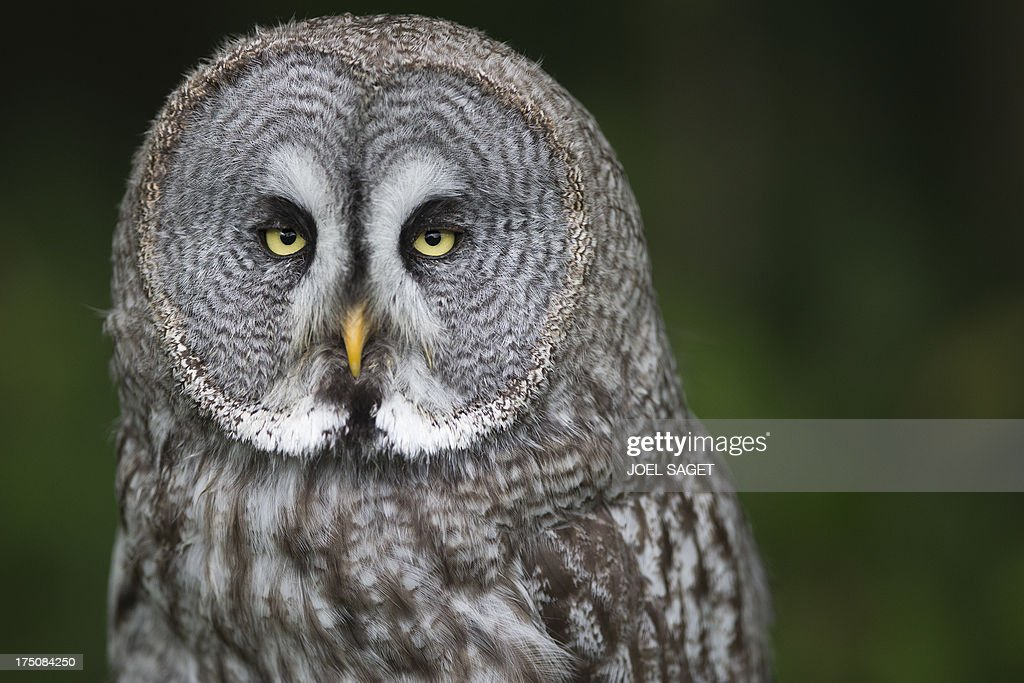 A great gray owl rests in the Rambouillet forest, on July 31, 2013, some 50 kms outside of Paris. AFP PHOTO / JOEL SAGET