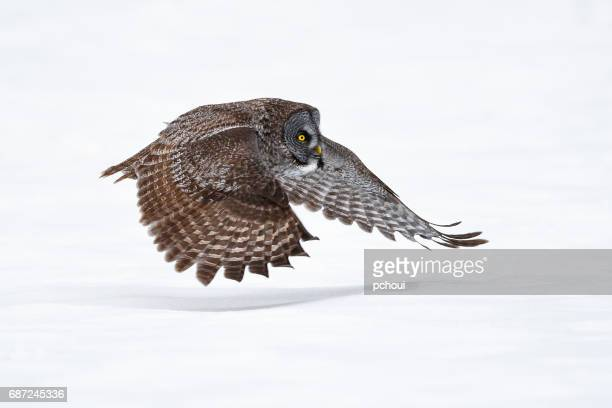 Great gray owl, strix nebulosa, rare bird in flight