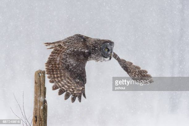 Great gray owl, strix nebulosa, rare bird in flight, taking off from post in blizzard