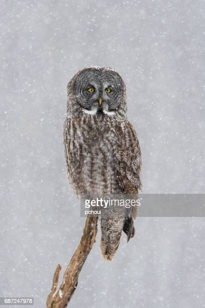 Great gray owl, strix nebulosa, rare bird. perching in snowfall