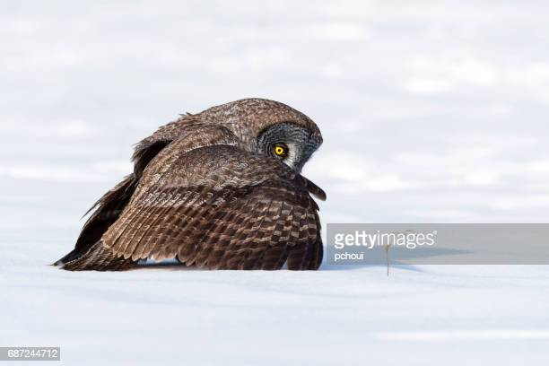 Great gray owl, strix nebulosa, rare bird