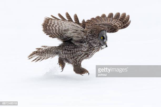 Great gray owl, strix nebulosa, rare bird, running on snow
