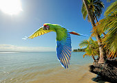 a great green macaw (ara ambiguus) also known as buffon's macaw or military macaw flys over a beach in costa rica