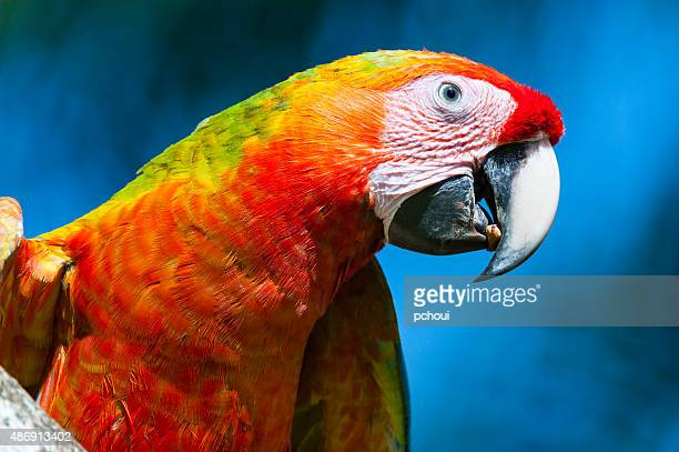 Great green macaw, bird in the wild, Costa Rica