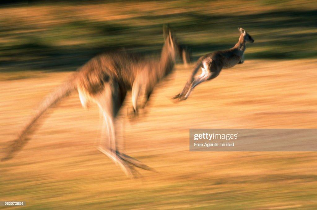 Great Grey Kangaroos Jumping