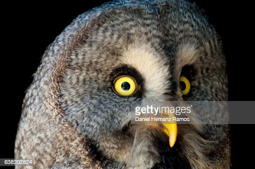 Great Grey Owl Close Up Face Detail With Black Background Owl Eyes - 24 detailed close ups of animal eyes
