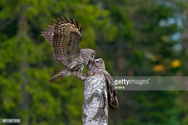 Great grey owl / great gray owl male bringing mouse to female to feed the chicks in nest on top of tree stump in Scandinavian coniferous forest