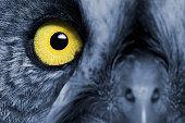 Portrait Of The Great Grey Owl (Strix nebulosa). Night's effect.