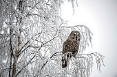 Great Grey Owl -Strix nebulosa-, Oulu, Finland