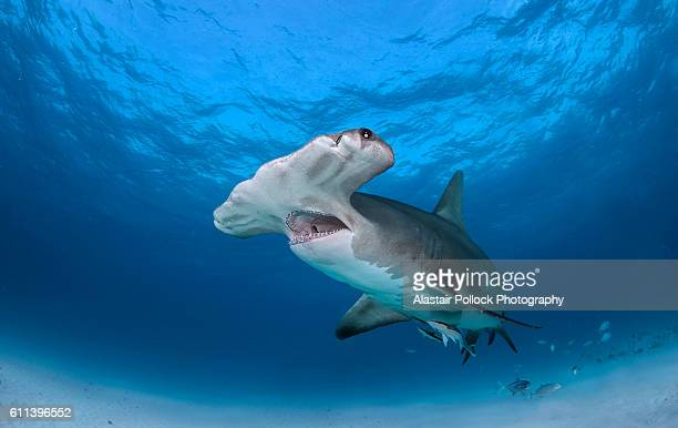 Great hammerhead shark with jaws open