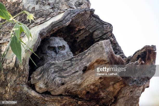 Great Horned Owl Baby Bird
