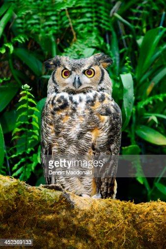 Great horned owl bird