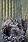 Great Horned Owl, Bubo virginianus, on nest with chicks in saguaro cactus, Arizona, USA