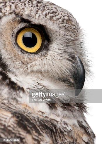 Great Horned Owl - Bubo Virginianus Subarcticus : Stock Photo