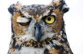great horned owl, Bubo virginianus, winking