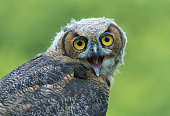 Great horned owl -Bubo virginianus-, young bird, captive, Germany