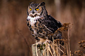 Great horned owl (Bubo virginianus), close-up