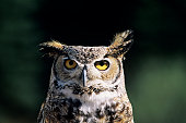 Great horned owl (Bubo virginianus), front view headshot, North America