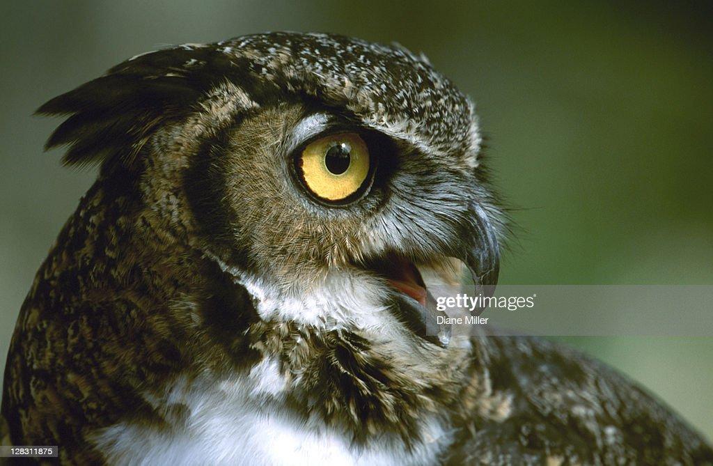 Great Horned Owl, headshot : Stock Photo