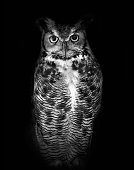 High contrast black and white of a great horned owl, also known as a tiger owl or hoot owl.