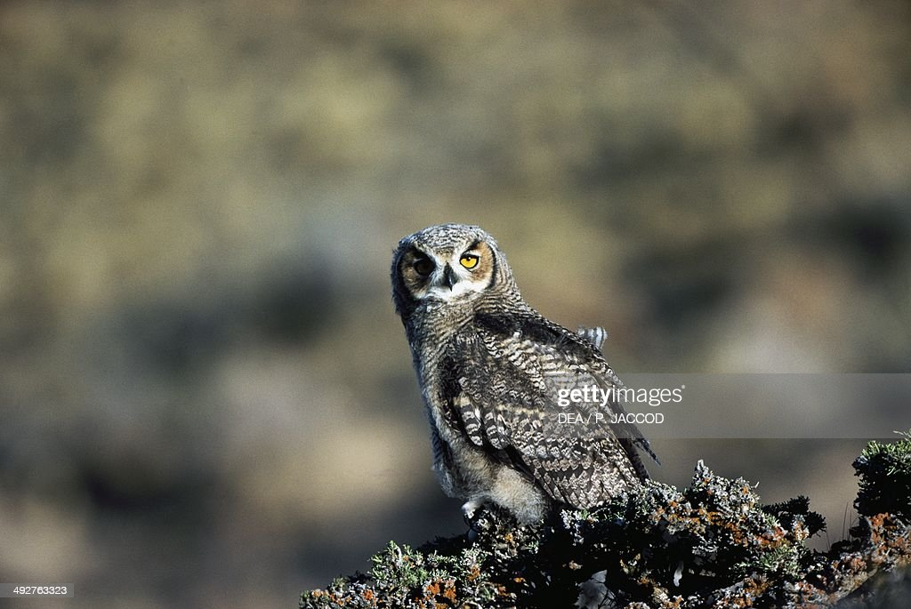 Great horned owl or Tiger owl Strigidae