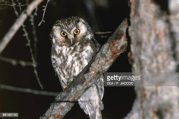 Great Horned Owl perching in tree at night