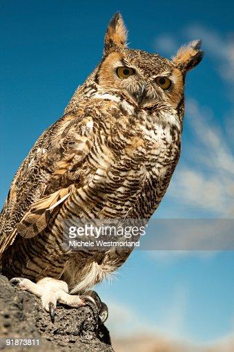 Great Horned Owl (Bubo virginianus) : Stock Photo