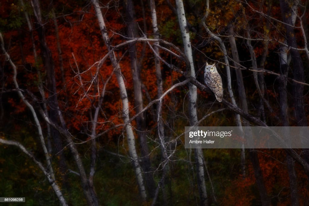 Owl sitting on an Aspen tree. The Autumn colors surround him