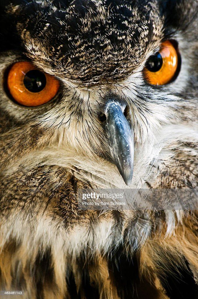 Great Horned Owls with fierce orange eyes